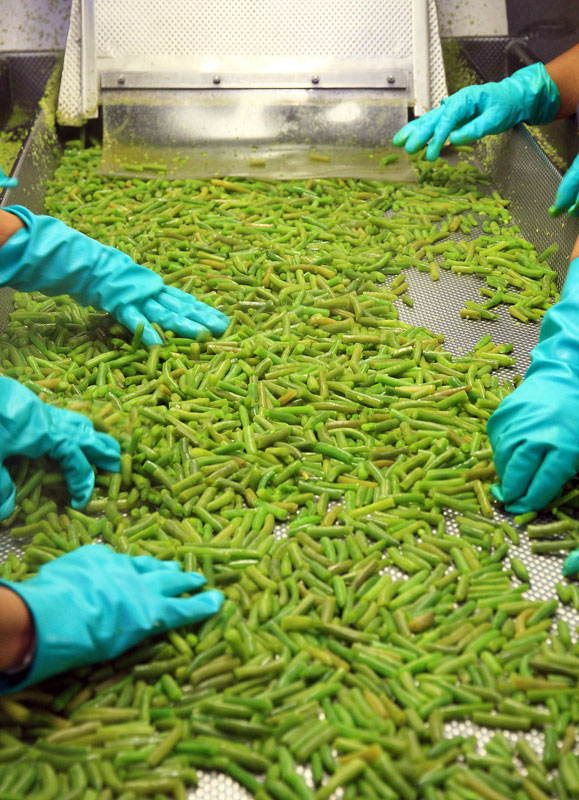 Green beans being inspected
